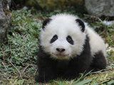 Giant Panda Baby Aged 5 Months, Wolong Nature Reserve, China Photographic Print by Eric Baccega
