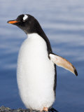 Gentoo Penguin, Yankee Harbour, Antarctica, January 2007 Photographic Print by Rick Tomlinson