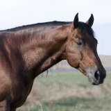 Bay Quarter Horse Stallion, Longmont, Colorado, USA Photographic Print by Carol Walker