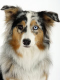 Blue-Merle Australian Shepherd Portrait with Odd Eyes Prints by Petra Wegner