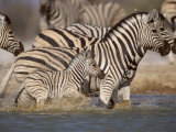 Common Zebra Wading at Waterhole Etosha Np, Namibia, 2006 Photo by Tony Heald