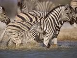 Common Zebra Wading at Waterhole Etosha Np, Namibia, 2006 Photographic Print by Tony Heald