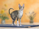 Cornish Rex Cat, Bicolor Blue-Tortie Photo by Petra Wegner