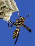 Paper Wasp Adult on Nest, Texas, Usa, May Photographic Print by Rolf Nussbaumer
