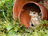 Common European Toad Female Sitting in Flower Pot, Hertfordshire, Uk April Posters by Andy Sands