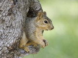 Eastern Fox Squirrel in Tree Cavity, Hill Country, Texas, USA Posters by Rolf Nussbaumer