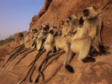 Hanuman Langur Group Sunning on Rock, Thar Desert, Rajasthan, India Photo by Jean-pierre Zwaenepoel