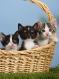 Domestic Cat, Three Kittens in a Basket Prints by Petra Wegner