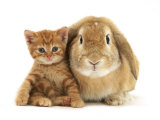 British Shorthair Red Spotted Kitten Sitting with Sandy Lop Rabbit Posters by Jane Burton