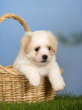 Coton De Tulear Puppy, 6 Weeks, in a Basket Photographic Print by Petra Wegner