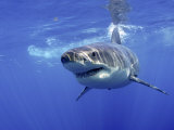 Great White Shark Underwater, Guadalupe Island, Mexico Posters by Mark Carwardine