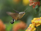 Hummingbird Hawk-Moth Adult in Flight Drinking Nectar from Lantana Flower, Switzerland Posters by Rolf Nussbaumer