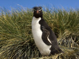 Adult Rockhopper Penguin, Cape Bougainville, Falkland Islands, January 2007 Photographic Print by Rick Tomlinson