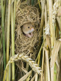 Harvest Mouse Adult Emerging from Breeding Nest in Corn, UK Photographic Print by Andy Sands