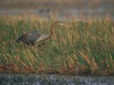 Purple Heron Keoladeo Ghana Np, Bharatpur, Rajasthan, India Photographic Print by Jean-pierre Zwaenepoel