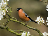 Male Bullfinch Feeding Amongst Blossom, Buckinghamshire, England Photographic Print by Andy Sands