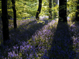 Lanhydrock Beech Woodland with Bluebells in Spring, Cornwall, UK Poster von Ross Hoddinott