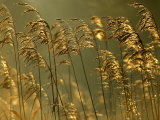 Common Reeds, Bude Canal, Cornwall, UK Photographie par Ross Hoddinott