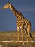 Giraffe Portrait at Sunset, Etosha Np, Nambia Posters by Tony Heald