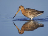 Black-Tailed Godwit Adult in Breeding Plumage Feeding, Lake Neusiedl, Austria Posters by Rolf Nussbaumer