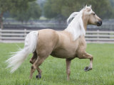 Palomino Andalusian Stallion Trotting in Paddock, Ojai, California, USA Photographic Print by Carol Walker