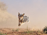 Cowdog Taking a Flying Leap, Flitner Ranch, Shell, Wyoming, USA Photographic Print by Carol Walker