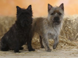 Two Cairn Terriers of Different Coat Colours Photographic Print by Petra Wegner