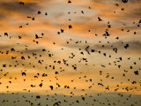 Cloud of Straw-Coloured Fruit Bats Flying, Kasanka National Park, Zambia, Africa Posters by Mark Carwardine