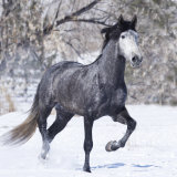 Grey Andalusian Stallion Running in Snow, Berthoud, Colorado, USA Photographic Print by Carol Walker