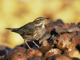 Redwing Feeding on Rotting Apples, UK Photo by Andy Sands