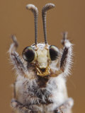 Ant Lion Adult Head Close Up, Texas, USA Posters by Rolf Nussbaumer