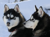 Siberian Husky Sled Dogs Pair in Snow, Northwest Territories, Canada March 2007 Poster von Eric Baccega