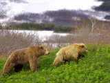 Brown Bear Young Male Follows Female in Mating Season, Kronotsky Zapovednik Reserve, Russia Photo by Igor Shpilenok