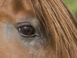 Close Up of Eye of Chestnut Peruvian Paso Stallion, Sante Fe, New Mexico, USA Photographic Print by Carol Walker
