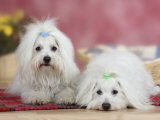 Two Coton De Tulear Dogs Lying on a Rug Print by Petra Wegner