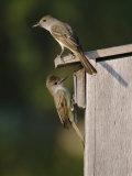 Brown-Crested Flycatcher Pair at Nest Box, Rio Grande Valley, Texas, USA Posters par Rolf Nussbaumer