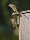 Brown-Crested Flycatcher Pair at Nest Box, Rio Grande Valley, Texas, USA Posters by Rolf Nussbaumer