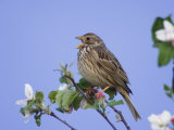 Corn Bunting Adult Singing on Apple Tree, Lake Neusiedl, Austria Posters by Rolf Nussbaumer