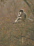 Contemplating Hanuman Langur Sitting in Tree, Kumbhalgarh Wildlife Sanctuary, Rajasthan, India Posters by Jean-pierre Zwaenepoel