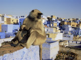 Hanuman Langur Mother and Young Sitting on Roof, Jodhpur, India Posters by Jean-pierre Zwaenepoel