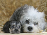 Domestic Dog, Dandie Dinmont Terrier with Puppy, 6 Weeks Photographic Print by Petra Wegner