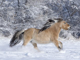 Norwegian Fjord Mare Running in Snow, Berthoud, Colorado, USA Photographic Print by Carol Walker