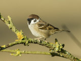 Tree Sparrow Perched on Lichen Covered Twig, Lincolnshire, England, UK Photographic Print by Andy Sands