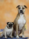 Pug Sitting Next to a Mixed Breed Dog on a Rug Prints by Petra Wegner