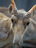 Portrait of a Saiga Male Cherniye Zemly Zapovednik, Russia Photographic Print by Igor Shpilenok