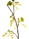 Wild Blackcurrant in Flower, April, Angus, Scotland, UK Photographic Print by Niall Benvie