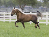 Palomino Morgan Stallion Trotting in Paddock, Ojai, California, USA Posters by Carol Walker