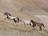 Two Paint Horses and a Grey Quarter Horse Running Up Hill, Flitner Ranch, Shell, Wyoming, USA Photographic Print by Carol Walker