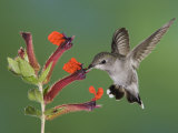 Anna's Hummingbird Female in Flight Feeding on Flower, Tuscon, Arizona, USA Photographic Print by Rolf Nussbaumer
