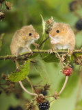 Two Harvest Mice Perching on Bramble with Blackberries, UK Photographic Print by Andy Sands